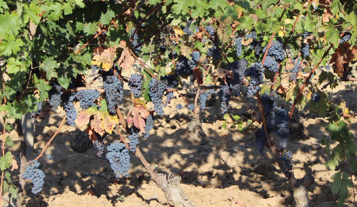 The grapes-picking of the Augeo Family Estate own vineyards was completed successfully